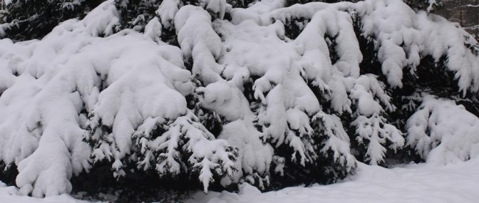 Schneebusch